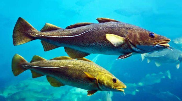 Bacalao Skrei - Bacalao Nómada del los Mares del Norte