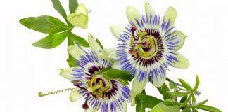 Tintura de Pasiflora - Hacer tintura de Pasiflora