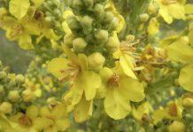 Planta Curativa Gordolobo - Planta Medicinal Gordolobo