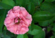 Aceite de Rosas de Mosqueta - Aceite de Rosa de Mosqueta para qué sirve