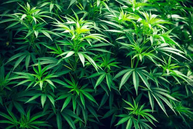 marihuana - Hierbas Medicinales Ansiedad