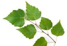 Beneficios de las hojas de Abedul para el aparato respiratorio