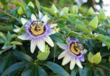 Importancia de la Pasiflora para el Sistema Nervioso