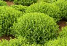 Beneficios de la Ajedrea en los Trastornos del Intestino