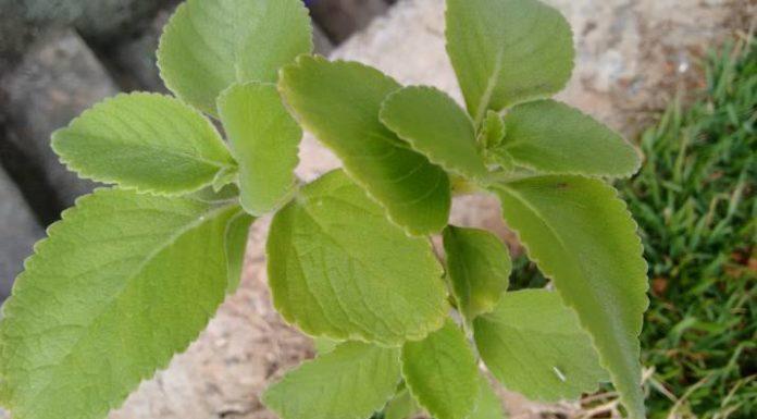 Beneficios del Arbusto Boldo para nuestra Salud