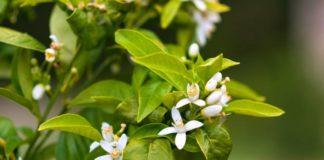 Beneficios Sorprendentes de la Flor de Azahar