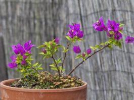 Beneficios para la Salud de las Flores de la Buganvilla