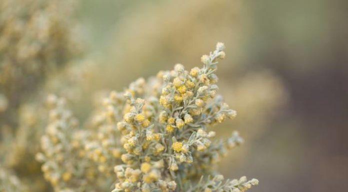 Beneficios Asombrosos de la Artemisa para la Piel, el Cabello y la Salud