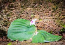 Beneficios de Salud de la Kaempferia Galanga