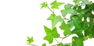 Beneficios Importntes para la Salud de la Hiedra