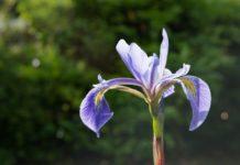 Beneficios para la Salud de la Flor de Lirio de Agua