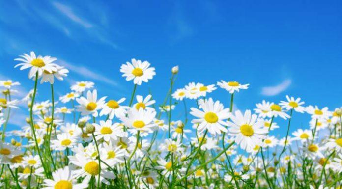 Beneficios del Extracto de Flor de Margarita para la Salud