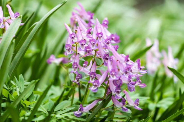 Beneficios para la Salud del Corydalis