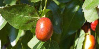 Beneficios de la Fruta de Azufaifo