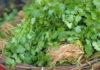 Cómo Cultivar Cilantro y su Uso en la Cocina