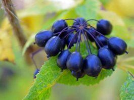 Principales Beneficios para la Salud de la Raíz de Eleuthero o Ginseng Siberiano
